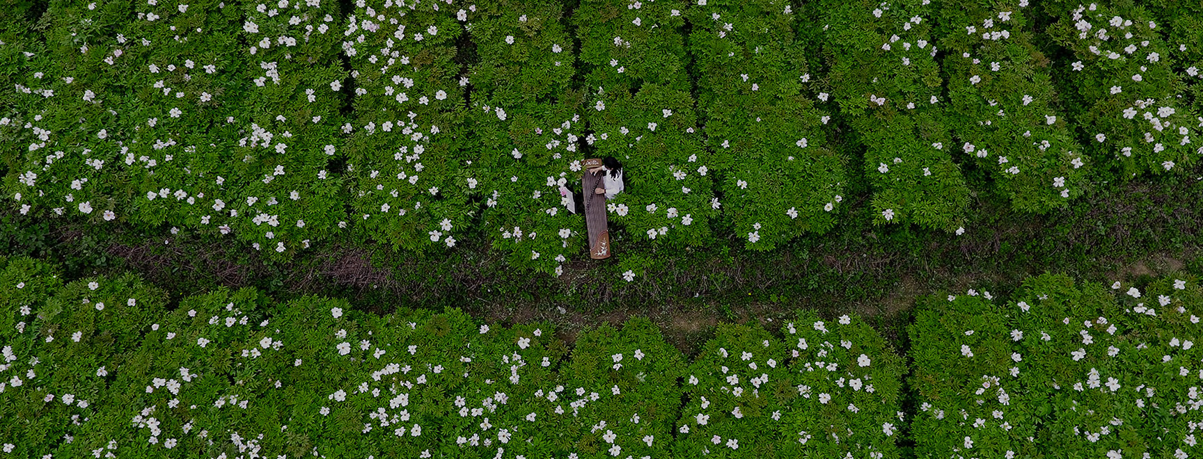 原生性紫斑牡丹种植,国际权威认证